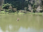 Peter jumping from the flying fox into the Whanganui River
